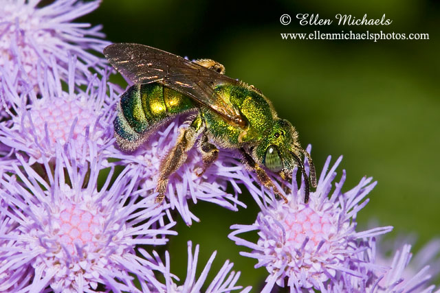 Striped-Sweat Bee - Agapostemon