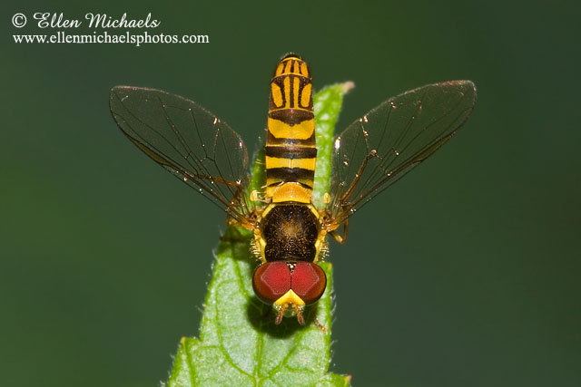 Syrphid Hover Fly - Allograpta obliqua