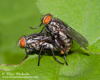 Flesh Fly (mating) - Sarcophaga
