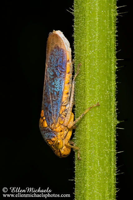 Broad-headed Sharpshooter - Oncometopia orbona
