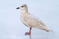 Iceland Gull (1st year)