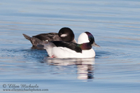 Bufflehead (pair)
