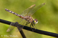 Blue Dasher Dragonfly (female) -Pachydiplax longipennis