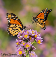 Monarch Butterfly (pair)