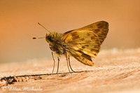 Zabulon Skipper Butterfly