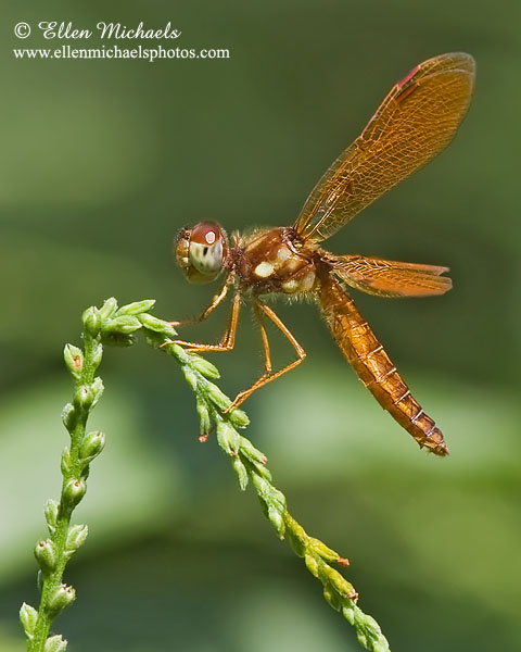 Eastern Amberwing Dragonfly (male) -Perithemis tenera