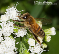Honey Bee - Mellifera