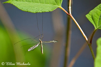 Crane Fly (male) - Tipula furca