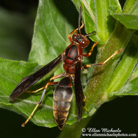 Paper Wasp - Polistes metricus