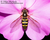 Syrphid Fly - Eupeodes