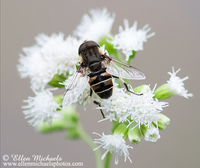 Syrphid (Flower) Fly - Eristalis dimidiata