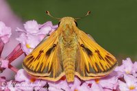 Fiery Skipper