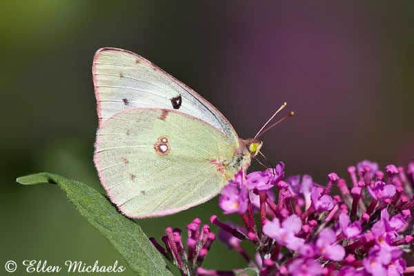 Clouded/Orange Sulphur Butterfly