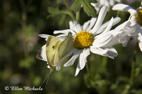 Cabbage White Butterflies Mating