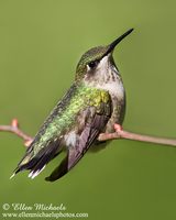 Ruby-throated Hummingbird (perched)