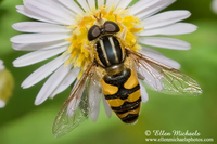Syrphid (Hover) Fly - Helophilus