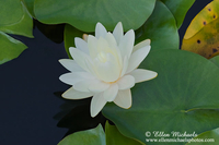 White Water Lily w/ Lily Pads
