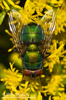 Common Green Bottle Fly - Lucilia sericata